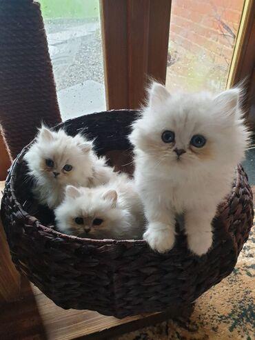 Registrirana prekrasna pasična činčila Kitten GccfLijepa naša Mona
