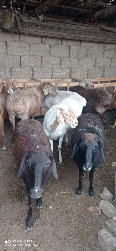14 объявлений   ЖИВОТНЫЕ: Продаю   Овца (самка)   Гиссарская, Арашан   Для разведения   Матка