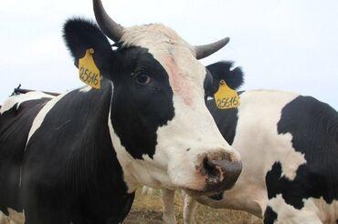 купить диски на 15 бу в Кыргызстан: Продаю | Тёлка | Голштин | Для разведения, Для молока | Стельные