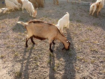 Heyvanlar - Azərbaycan: 5 dişi 1 teke ve 8 baladan ibarətdir balalar fevralın axırında