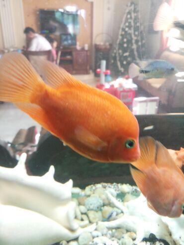 рыбки в Кыргызстан: Аквариумные рыбки  Цихлозома Лабиатум  Рабочая пара 2000сом