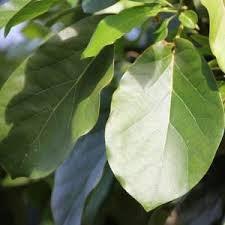 - Azərbaycan: Avokado Yaprağı Çayının Sağlığa FaydalarıAstıma iyi gelir: Astım