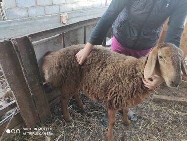 Животные - Шопоков: Продаю   Ягненок   Гиссарская   Для разведения   Племенные, Ярка