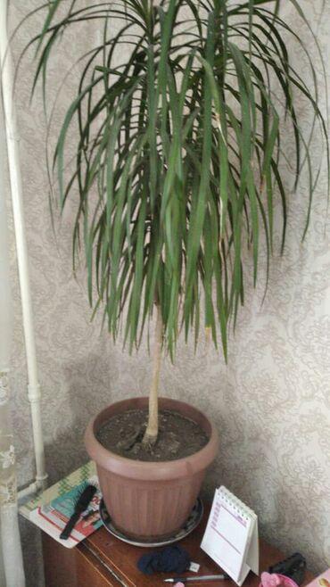 Горшки для растений - Кыргызстан: Цветок грацена . падайдет под любой интерьер .непрехатлив в уходе