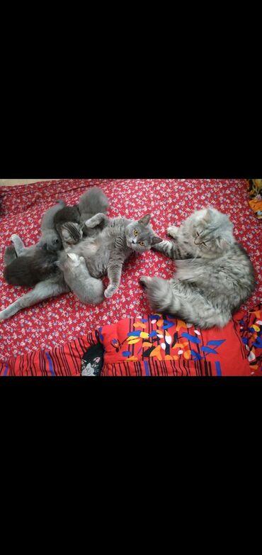 Добрые и веселые британские котята готовы к продаже.Разные окрасы-сере