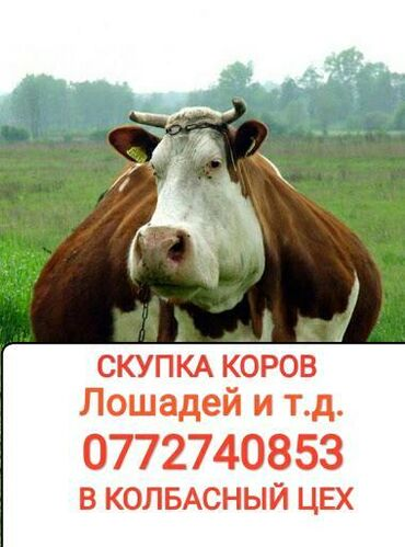 видеокарты бу купить в Кыргызстан: Куплю | Коровы, быки | На забой, на мясо
