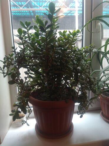 Комнатные растения - Сокулук: Денежное дерево