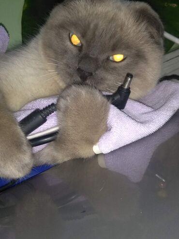 ищу кошку в Кыргызстан: Продаю вислоухую кошку . шотландка скотиш фолд . 9 месяцев. С