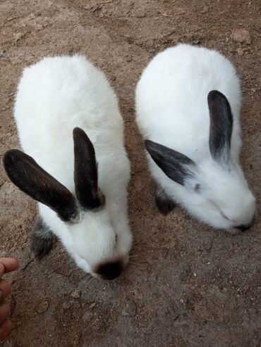 86 объявлений   ЖИВОТНЫЕ: Продаю   Крольчиха (самка), Кролик самец   Калифорнийская   Для разведения   Племенные