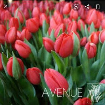 1492 объявлений: Продаю красные голандские тюльпаны .нарцысы сортовые.тюльпаны смесь