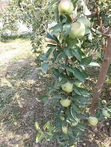 99 объявлений: Продается яблоки Симиренко