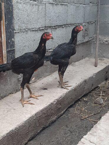 Животные - Нижний Норус: Продаю дакан 3 месяца петухи