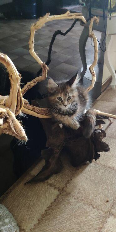 Коты - Беловодское: Продается котенок породы Мейн Кун 2.5 месяца