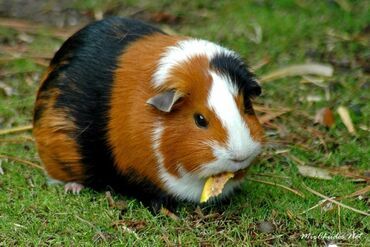 Морские свинки - Кыргызстан: Продаю морских свинков