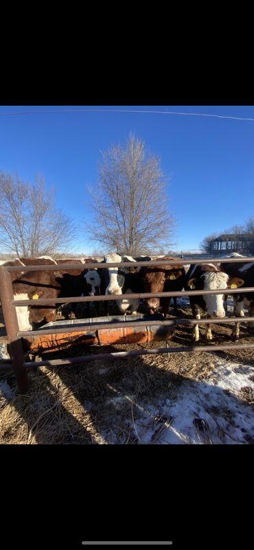 Работа - Бактуу-Долоноту: Срочно требуется В Кант, с.Жээк семья для проживания на ферме на длите