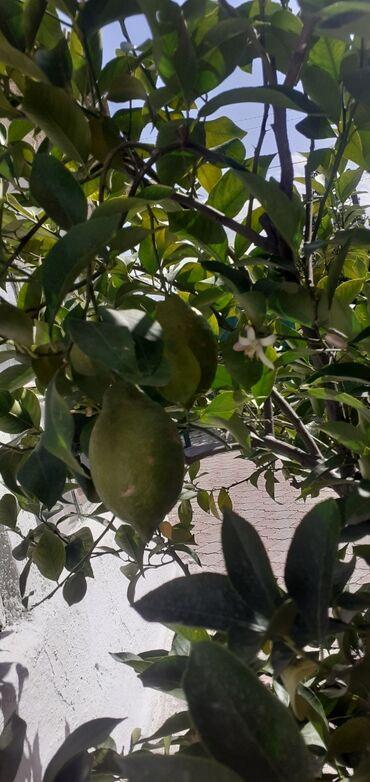 """Лимоны - Кыргызстан: СРОЧНО!!!!СРОЧНО!!!!! Продаеться лимон"""" Павловский """" .Дереву 12 лет"""