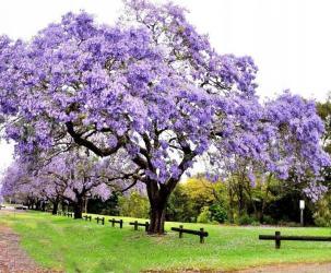 Ev və bağ Azərbaycanda: Adəm ağacı (Paulownia Tomentosa) 1 ilde 3 metre boy atir. Tələsin