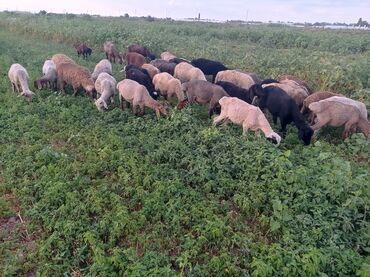 Животные - Тынчтык: Продаю кочкориков 8000торг