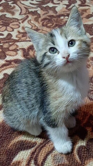 подготовка к flex в Кыргызстан: Отдадим котенка в хорошие руки. Двухмесячная, к туалету приученная