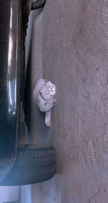 ищу кошку в Кыргызстан: Здравствуйте Продаем кошку британская порода. Девочка имя Молли около