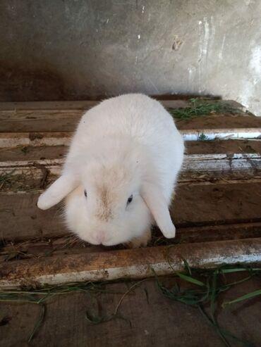 58 elan | HEYVANLAR: Karlik Holland Lops dovşanlar satılır.3-ü birlikdə 75 AZN.Aglar Karlik