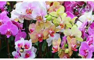 Орхидея возьму умирающую орхидею архидея архидею за символическую