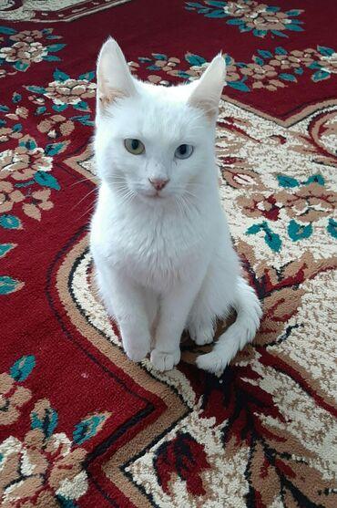 вислоухий сиамский кот в Азербайджан: Turk Anqoru va