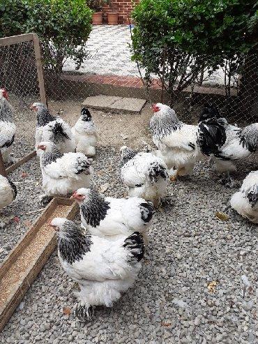 Животные в Дигях: Temiz qan rumun cinsi Layt,QoldDark yumurtası. Layt 3 azn