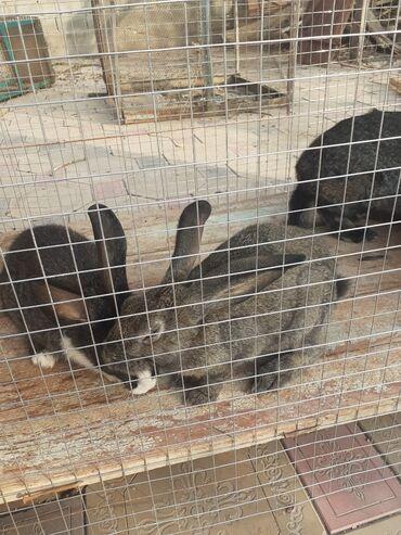 кролики бишкек in Кыргызстан   ДЕКОРАТИВНЫЕ КРОЛИКИ: Кролики 1000 сом каждый есть 10 шт