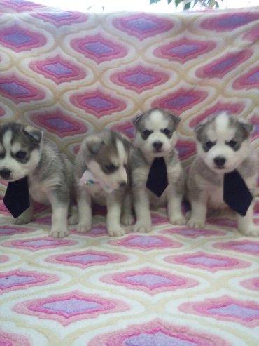 Готовятся к продаже щенки сибирский хаски. 3 мальчика и 1 девочка. в Кант
