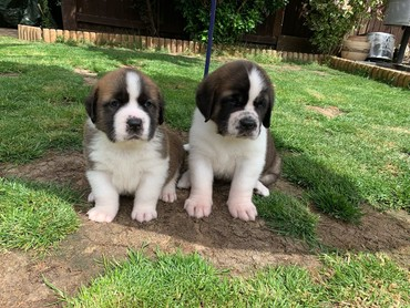 Very beautiful Saint Bernard Puppies  σε Faistos