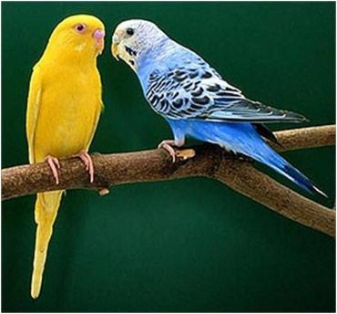 Продаются волнистые попугаи  в Бишкек