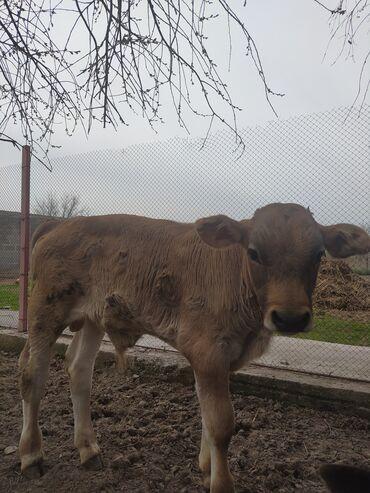 продам теленка в Кыргызстан: Продаю трёхмесячного телёнка, и месячного бычка. Цена 85000 уступка ре