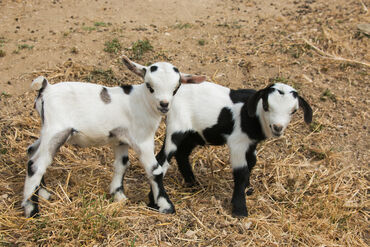 Crías de cabras pigmeasWe Cabras para mascotas Cabras Enanas
