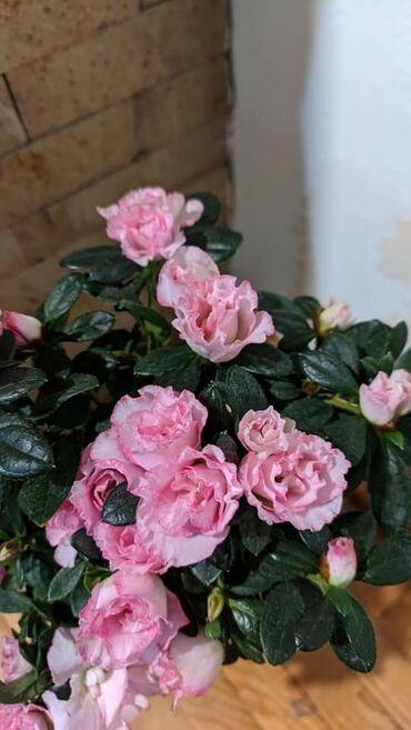 Stubasti rododendroni visine 40 cm