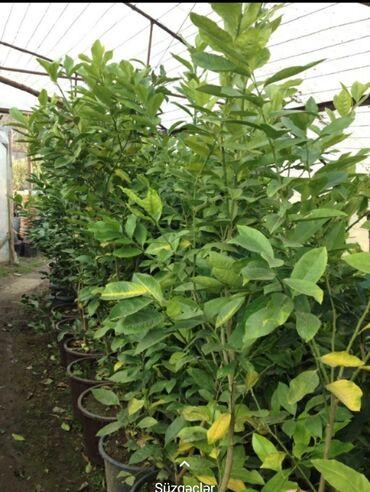 Otaq bitkiləri - Lənkəran: Limon ağacları.Boyları 1,5 metr .4 yaşlı.Bakıyada sifarişler