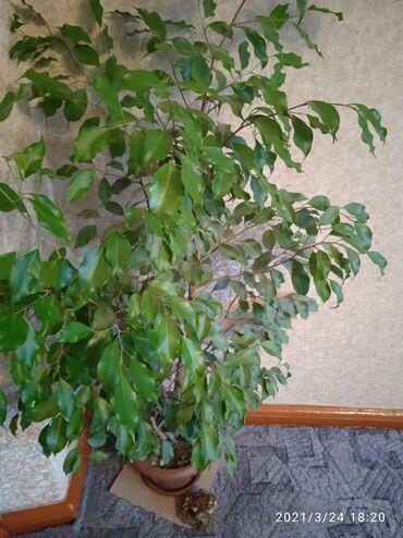 Комнатное растение за полторы тысячи сом