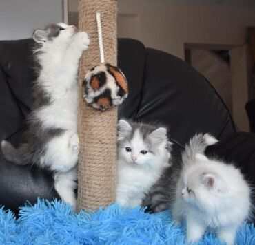 Siberian kittens Both genders available, vaccinated and wormed, potty