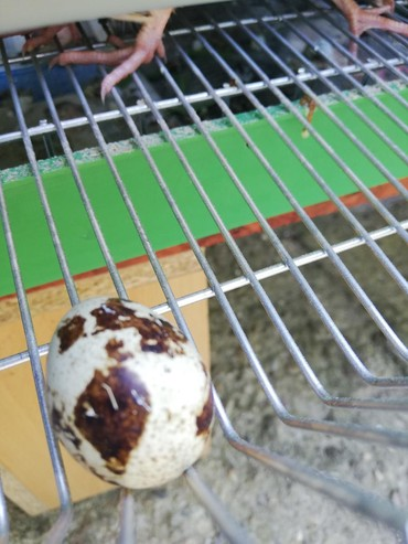 Na prodaju sveža jaja japanskih prepelica, šaljem i kurirskom službom - Futog - slika 2