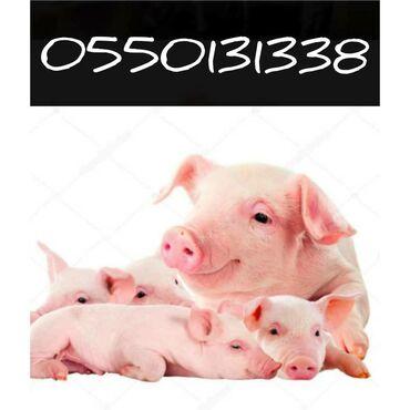 Куплю свиней мясом, тушами, на дорост, хряков