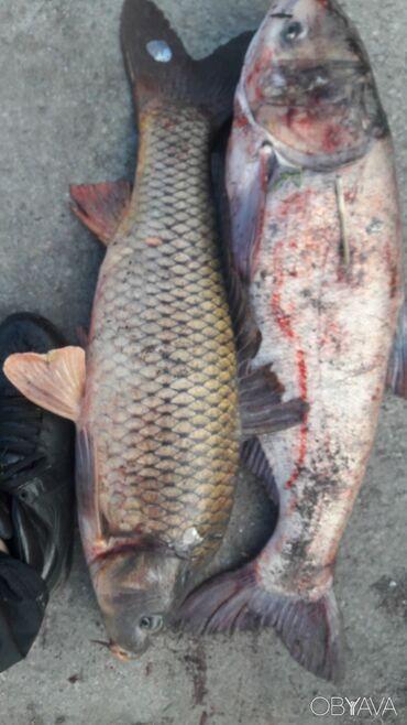 Продаю рыбу толстолоб оптом вес от 2.2 и выше оптовая цена с доставкой