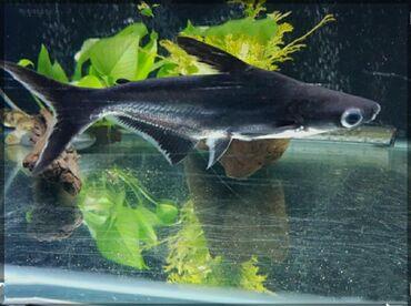 Продаю редкую рыбку Мирная ( акулий- сом ) рост 12-15 см или обменяю