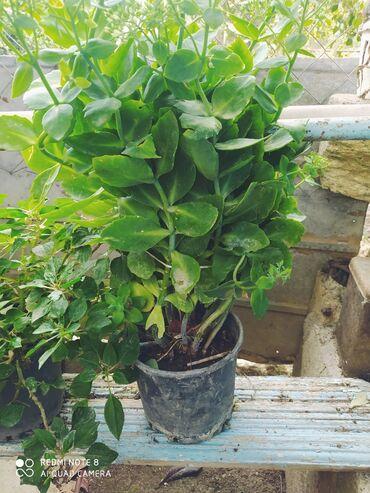 Otaq bitkiləri - Lənkəran: Digər otaq bitkiləri