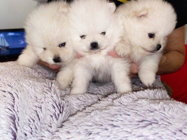 Ανεκτίμητο λευκό κουτάβι Pomeranian για υιοθεσίαΌμορφο, λευκό κορίτσι