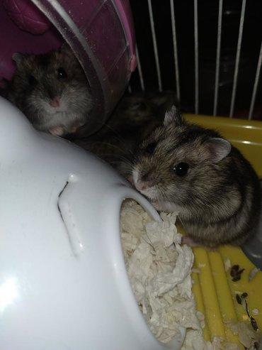 Животные в Азербайджан: Хомяки каждый 5 ман