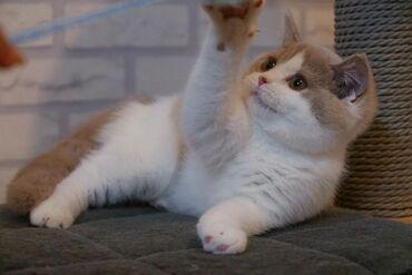 Πανέμορφα βρετανικά γατάκια με κοντό τρίχωμα διαθέσιμα τώρα Έχω δύο σκ