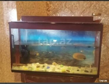 Akvariyum.Içinde 10 dene baliq var. Bine qesebesi