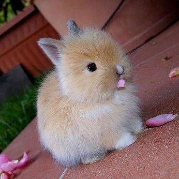 Ev dovşanı balaları satılır. Cırtdan(karlik) cinsidir. Sağlam və təmiz