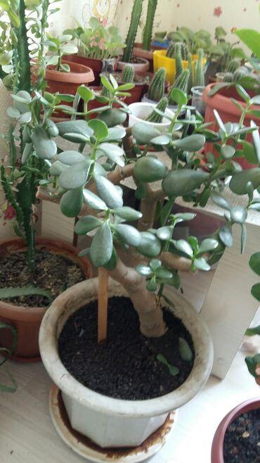 Денежное дерево 5лет