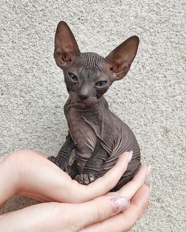 Животные - Беловодское: Продаются чистокровные котята породы донской сфинкс. Гипоаллергенные